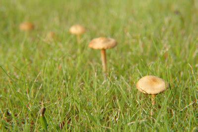 Pilze Garten Entfernen by Braune Pilze Im Garten Pilze Im Rasen Loswerden Ursache