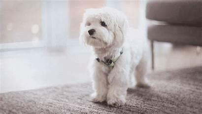 Puppy Maltese Dog Pretty Dogs Gifs Names