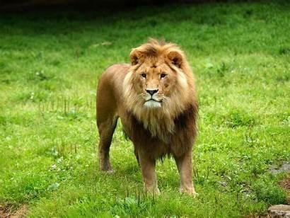 Lion Animals Lions Pride Wallpapers Animal Desktop