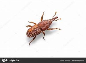 Rice Weevils  Sitophilus Oryzae   U2014 Stock Photo  U00a9 Teptong