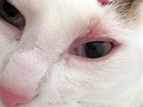 cat has swollen eye pet eye irritations the symptoms and what they