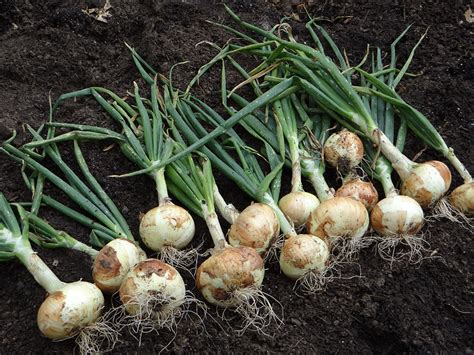 growing onions bonnie plants