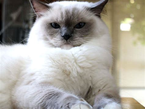 Ragdoll Cat  Purrfect Cat Breeds