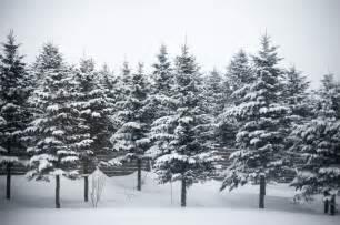 file snow on fir trees jpg wikimedia commons