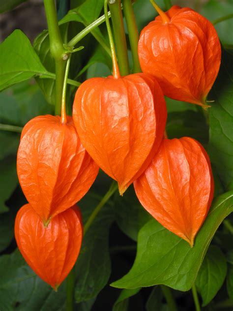 Physalis Pflanzen » Ein Kleiner Pflanzratgeber
