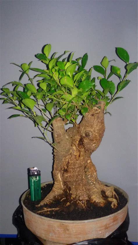 jual bonsai kimeng bahan  lapak ivana fransisca