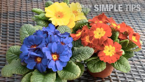 plant and provide for primrose garden club