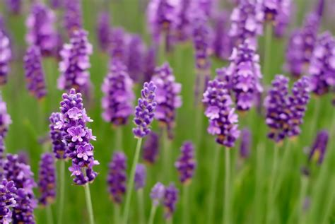 can i plant lavender in september lavender oil a natural aid for fighting infection reset me
