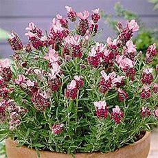 Most Fragrant! 30+ Pink Lavender Flower Seeds Perennial