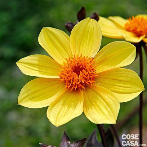 i fiori semplici dhalia hybrida happy single party dalia cose di casa