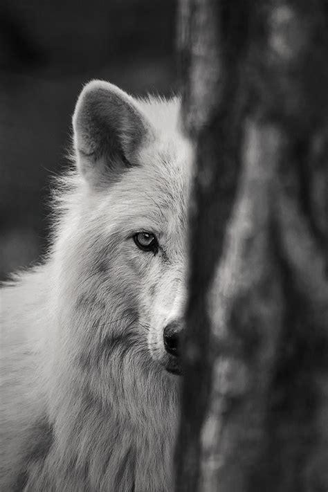 wolf forum fuer naturfotografen