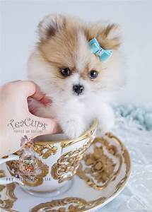 Tiny Pom Puppies Cute - 4k Wallpapers