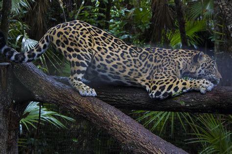 Jaguars In Belize  Ricochet Science