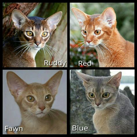 cat colors 4 recognized colors of abyssinian cats in america