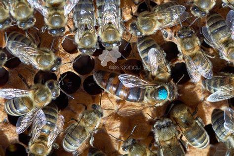 Krainas bišu mātes (Apis mellifera carpathica) - Bites ...