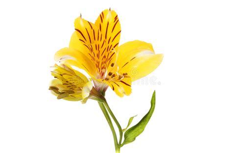 yellow alstroemeria flower stock of yellow 95736695
