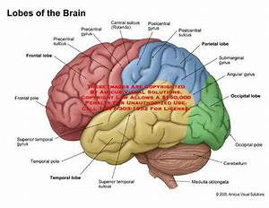 Brain Diagram Lobes