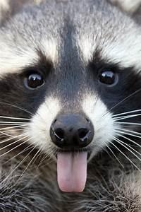 ~~Cheeky Raccoon by ~Missysmom~~ | Animal ~ Magnetism ...