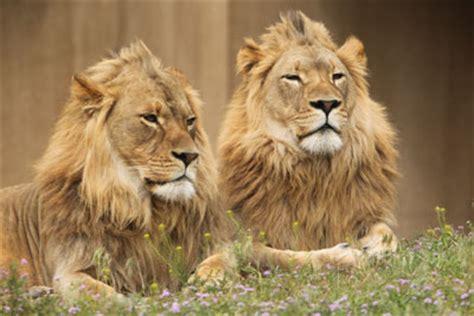 african lion utahs hogle zoo