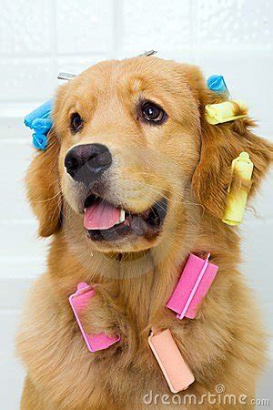 pretty dog  hair curlers stock  image