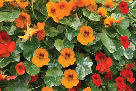 Kletterpflanzen Für Den Garten by Schnellwachsende Kletterpflanzen Kletterpflanzen