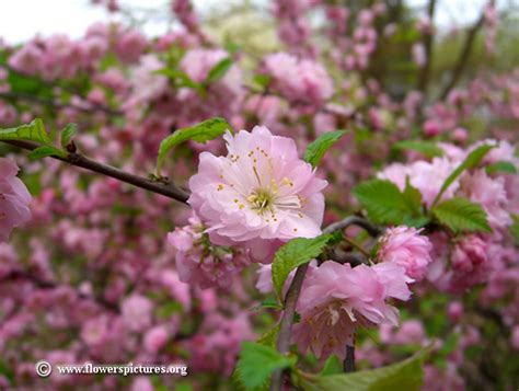 flowering almond flowering almond pictures free flowering almond photos