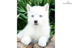 Miniature Siberian Husky Puppies Sale