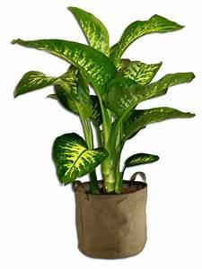 Plante D Intérieur Haute : plante d 39 interieur dieffenbachia deco terrasse ~ Dode.kayakingforconservation.com Idées de Décoration