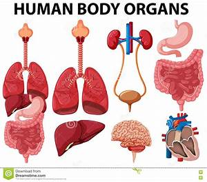 Different Type Of Human Body Organs Stock Vector