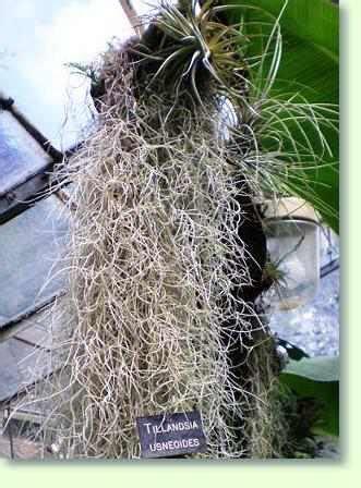 tillandsia bromelien pflegen pflanzenfreunde