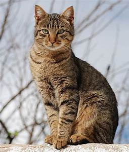 What Color Is My Tabby Cat? - Cat Advice | Paws and Effect