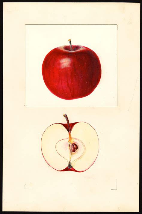 Beacon (apple) - Wikipedia