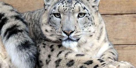 schneeleoparden im dresdner zoo haben ein neues gehege