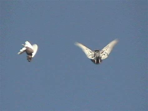 tim decker pigeons all roller roller pigeon forum archive