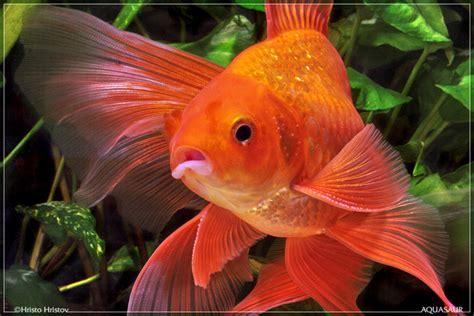 gold fish  beautiful mollies  beginners