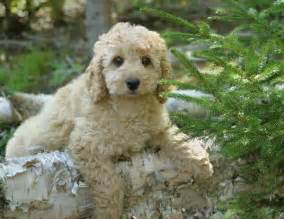 small hypoallergenic dogs that don t shed puppies