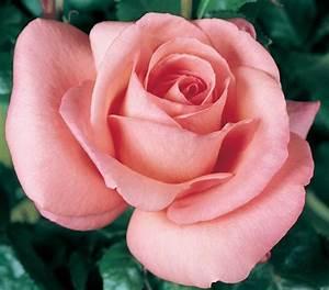 Vieux Rose Couleur : edirose rosier grandes fleurs cosima de couleur vieux ~ Zukunftsfamilie.com Idées de Décoration
