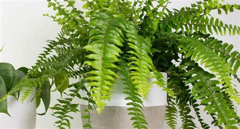 felce da vaso felce piante da interno come curare la felce