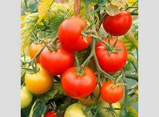 Tomato Grafted Plants Nimbus Tomato Plants Vegetable