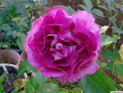 'let's Celebrate ' Rose Photo