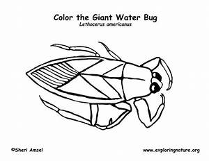 Water Bug Coloring Page