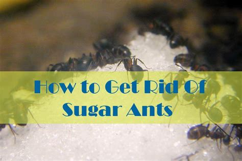 How To Get Rid Of Sugar Ants In The House Naturally