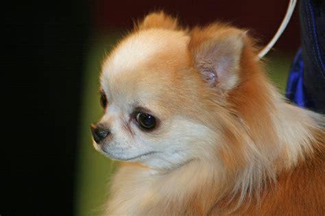 Ee  Long Ee   Coat  Ee  Chihuahua Ee   Flickr P O Sharing