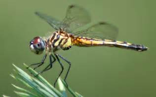 Dragonfly L by Fichier Dragonfly Ran 384 Jpg Wikip 233 Dia