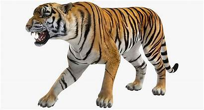 Tiger Roaring Roar Animal Drawings Cool Animals