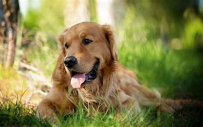 Retriever Golden Dog Wallpapers Desktop Dogs Puppies