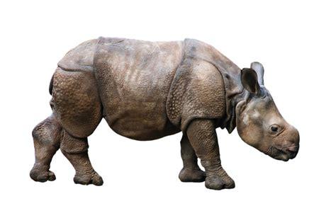 animal wild rhino young  photo  pixabay