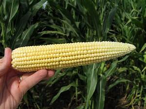 Identifying Corn Reproductive Growth Stages and Management ...