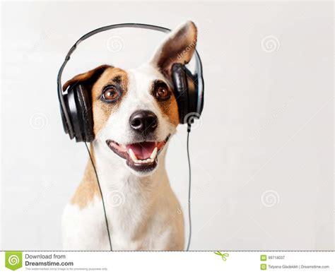 dog  headphones listening   stock image image
