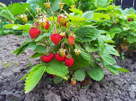 strawberry plants fruits nutrients here is the list of foods with nutritional values